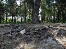 Ett träd med rotar Arkivbild
