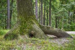 Ett träd med rotar Arkivfoton