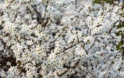 Ett träd med små vita blomningar fotografering för bildbyråer