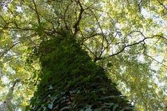 Ett träd mycket av lövverk Arkivfoton