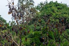 Ett träd mycket av roosting av flygrävar Arkivbilder