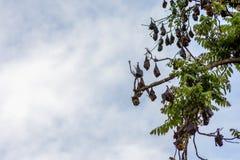 Ett träd mycket av roosting av flygrävar Royaltyfri Foto