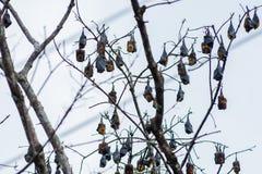Ett träd mycket av roosting av flygrävar Royaltyfria Bilder