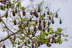 Ett träd mycket av roosting av flygrävar Arkivfoto