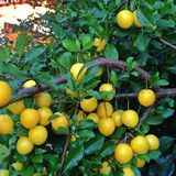 Ett träd mycket av små gula plommoner för deliciois Royaltyfri Bild