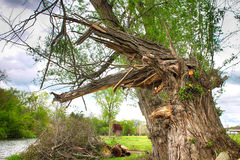 Ett träd som är skadat i stormen Royaltyfri Bild