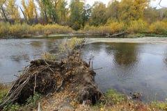 Ett träd som avverkar in i floden Arkivbild