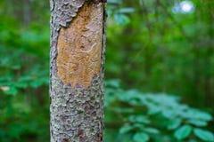 Ett träd som smittas med en skalbagge Grön färg Arkivbilder