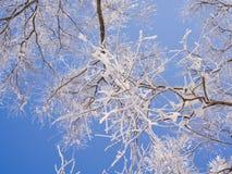 Ett träd som täckas med glasyr Arkivbild