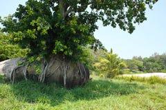 Ett träd som växer på stenen Arkivfoto