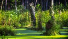 Ett träsk i en pinjeskog som täckas fullständigt med alger royaltyfria bilder