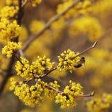 Ett tr?d blommar dogwood Wasp p? ett tr?d arkivfoton