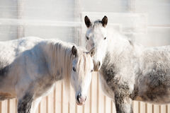 Ett trevligt par Två fullblods- hästar som står i vinterfålla Arkivfoton