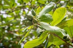Ett tropiskt mandelträd royaltyfria foton