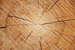 Ett tvärsnitt av den gamla trädstammen Arkivfoton