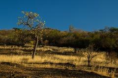 Ett typisk Cerrado landskap, var vridna träd är en av de få överlevanden under perioder av torkan arkivfoton