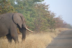 Ett tyst fä som behagfullt går till och med den afrikanska bushvelden Arkivfoto