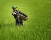 Odla rice i vietnam royaltyfria bilder