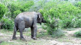 Ett ungt elefantfoder arkivbild
