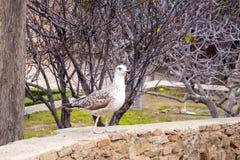 Ett ungt försilvrar den stora fiskmåsen, Larusargentatus, i parkerar i fästningen Gibralfaro i den spanska staden av Malaga, Span royaltyfria foton