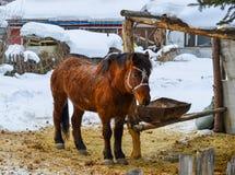 Ett ungt hästanseende på snöbyn royaltyfria bilder
