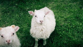 Ett ungt nyfiket lamm som håller ett vaket öga på kameran lager videofilmer
