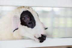 Ett ungt svartvitt får med det vita staketet Fotografering för Bildbyråer