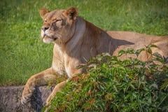 Ett uttråkat lejon royaltyfri foto