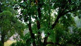 Ett vått lönnträd i regnet lager videofilmer