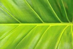 Ett verkligt grönt blad Arkivfoton