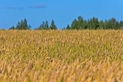 Ett vetefält Arkivbild