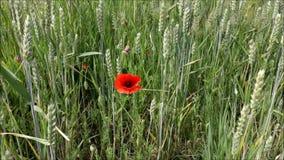 Ett vetefält i sommar stock video