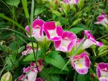 Ett vetenskapligt namn: Torenia fournierilind Är scrophulariaceaen Arkivfoton