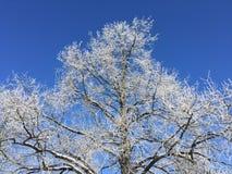 Ett vinterträd med rimfrost och den blåa himlen royaltyfria bilder