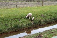 Ett vitt får och ett vitt lammmatningsgräs på en pik i omge av papenburg Tyskland fotografering för bildbyråer