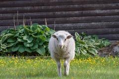 Ett vitt lamm som går på gras och blommor royaltyfri foto