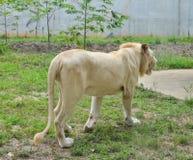 Ett vitt lejon på zoo royaltyfri fotografi