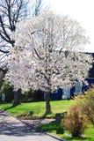 Ett vitt träd för blomning på våren i en liten by i lantliga Indiana Royaltyfri Bild