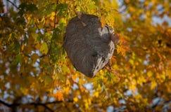 Ett Wasp rede som hänger från träd bland nedgång, färgar Royaltyfria Bilder