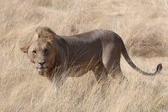 Ett windswept manligt lejonanseende i grässlätt i Etosha Arkivfoton