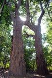 Ettfru träd! arkivfoto