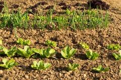 Ettuce, мангольд, шпинат, салат кресс-салата и очень ценное засаживают его едят и варят много различные салаты Стоковые Изображения RF