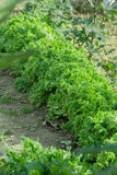 Ettuce, мангольд, шпинат, салат кресс-салата и очень ценное засаживают его едят и варят много различные салаты Стоковые Фотографии RF