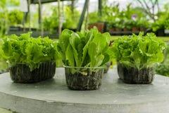 Ettuce, мангольд, шпинат, салат кресс-салата и очень ценное засаживают его едят и варят много различные салаты Стоковое Изображение RF