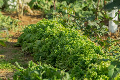 Ettuce, cardon, épinards, salade de cresson et très un précieux le plantent mangent et font cuire de beaucoup de différentes sala Image stock