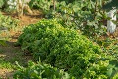 Ettuce, charden, spenat, källkrassesallad och ett mycket värdefullt planterar honom äter och lagar mat mycket olika sallader Fotografering för Bildbyråer