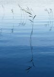 Etude in blue. Lake weeds in water in the evening Stock Image