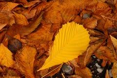 Etude del otoño de las hojas caidas Imagen de archivo libre de regalías
