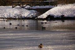 Etwas Schnee im Wald, in den Vögeln und in den Enten lizenzfreie stockfotos