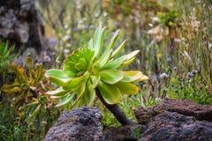 Eu encontrei este gomerense do Aeonium durante uma caminhada em Tenerife foto de stock